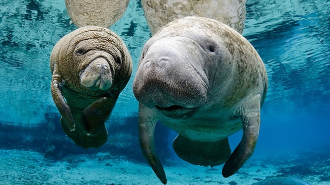 Manatees at nature center in Fort Lauderdale