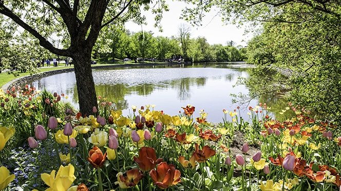 Walking Paths in Ottawa: Tulips at the Ottawa's Commissioners Park