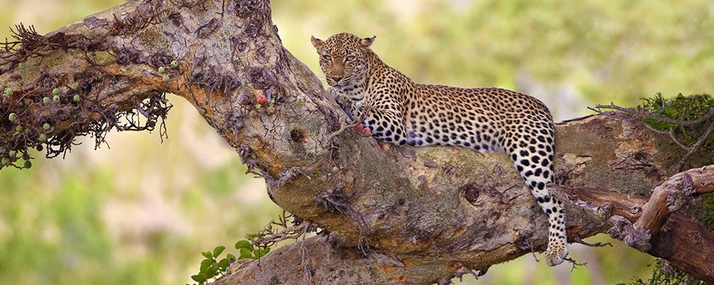 Leopard sitting in a fig tree