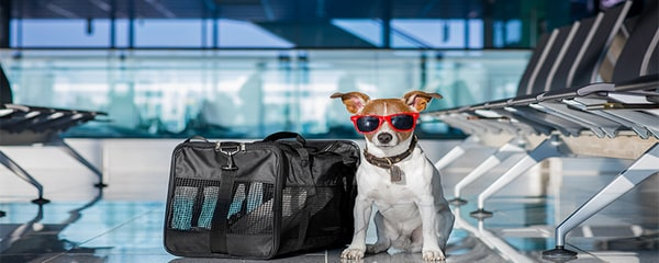 Jack Russell at a dog-friendly airport.