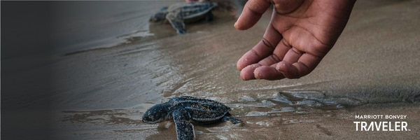 Close-up of hands releasing baby turtles into the wet sand of the ocean