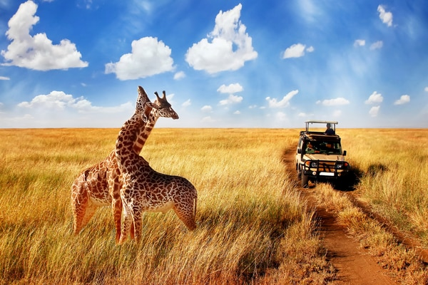 Jeep passing two giraffes standing in a savannah