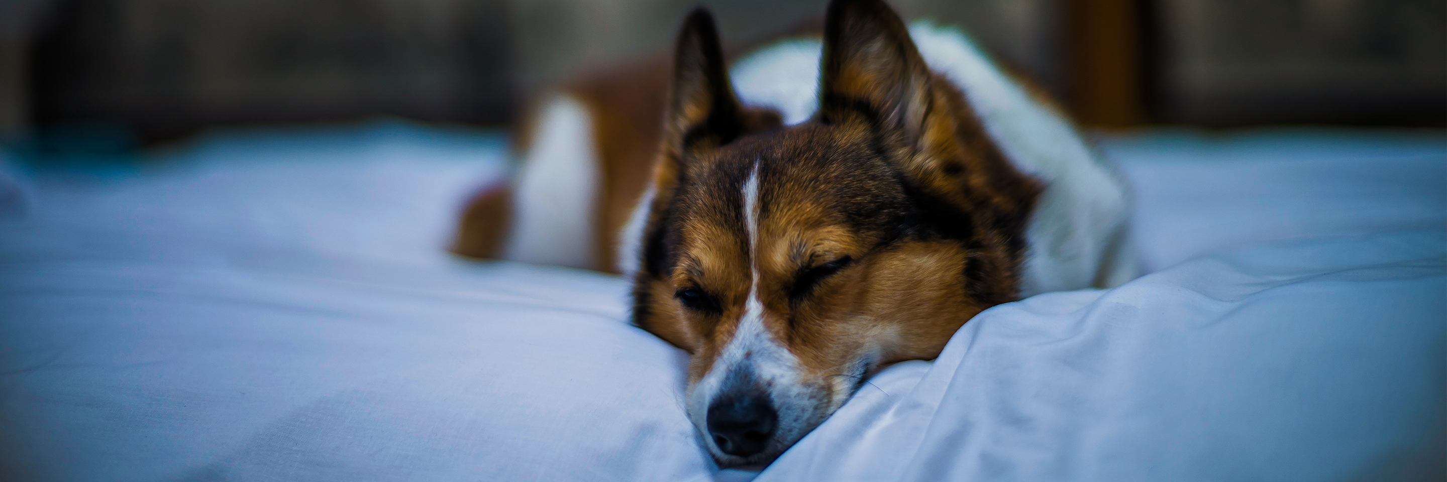 Corgi dog sleeping on a pet-friendly hotel bed.