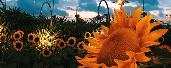 Field of bright yellow sunflowers blooming outside Singapore's Changi Airport