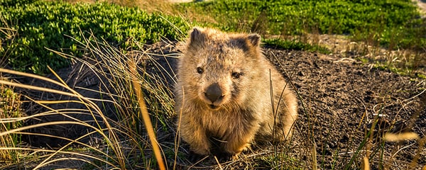 Wombat at Lesuer Point on Maria Island, Tasmania.