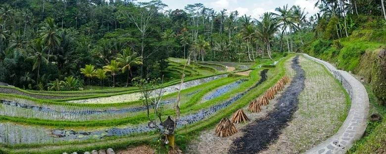 A rice field surrounded by the green forest in Bali.