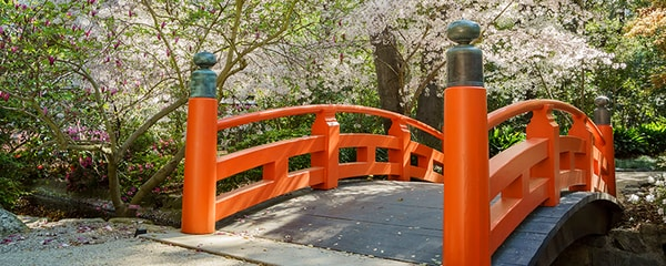 Eye level view of an orange railed bridge under blooming flowers at Descanso Garden.
