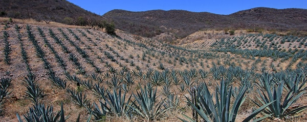 A field of Maguey plants that produce Mezcal in Mexico.