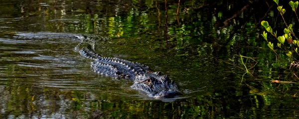 An alligator swimming through the everglades in Shark Valley, Florida.