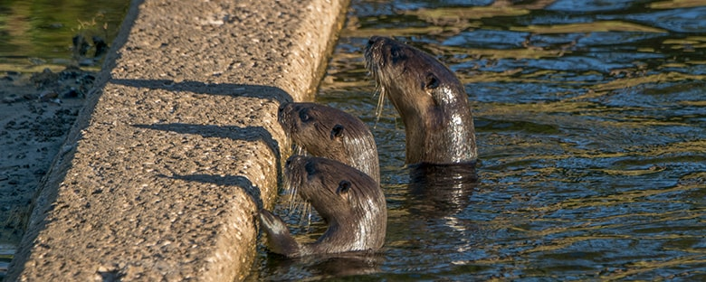 Florida River Otters coming above the water next to a stone median in the Orlando Wetlands Park.