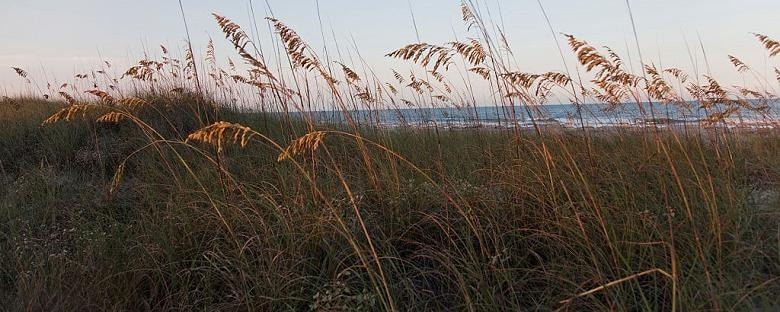 Grass blowing in the wind on sand dunes on Amelia Island.