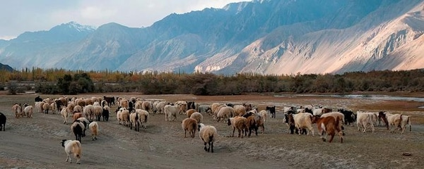 A heard of sheep grazing near mountains in Nubra Valley in India.