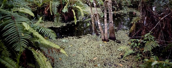 Up close shot of the Corkscrew Swamp in the Everglades National Park.