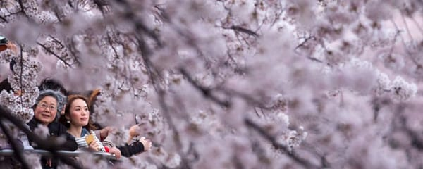 Visitors are surrounded by cherry blossoms in Tokyo, Japan