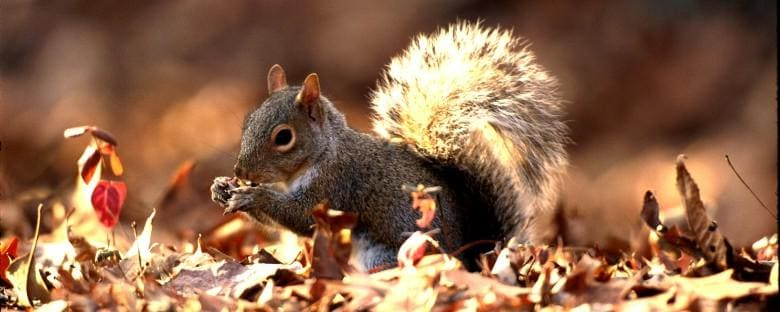 A squirrel inspects leaves for a nut in Tennessee, where some consider them a delicacy