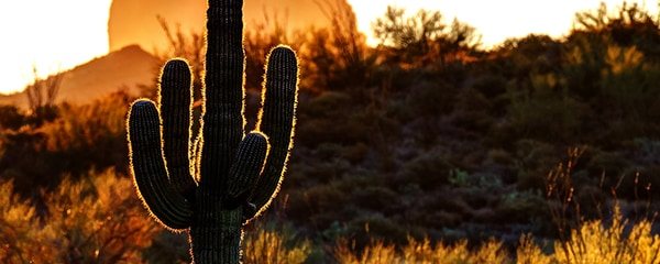In focus view of a saguaro cactus silhouette at sunset in Phoenix.
