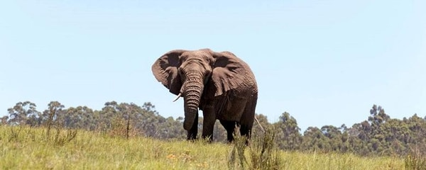 Full view of an Elephant walking through the planes of South Africa on a sunny day.