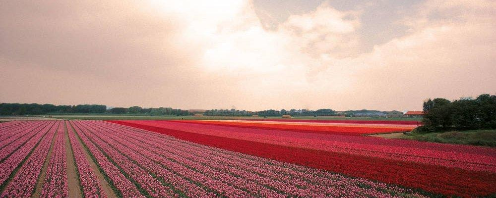 bulb fields touriste typique hollandais