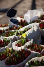 أزهار توليب من أمستردام