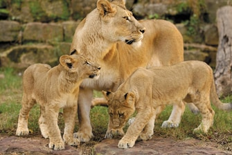 Fort Worth Zoo lions