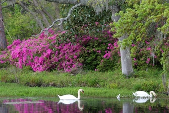 Swans at Airlie Gardens