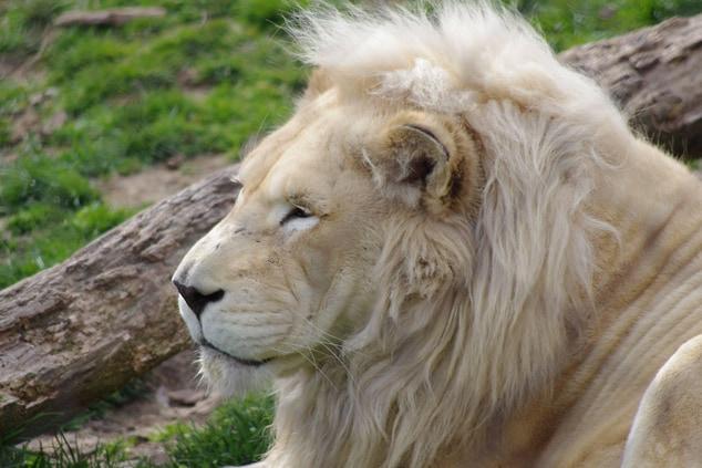 Lion at the Philadelphia Zoo