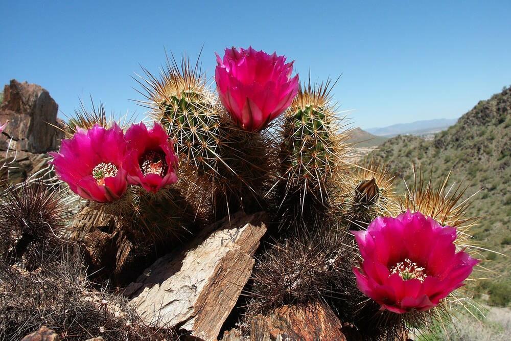 Phoenix Desert Cactus