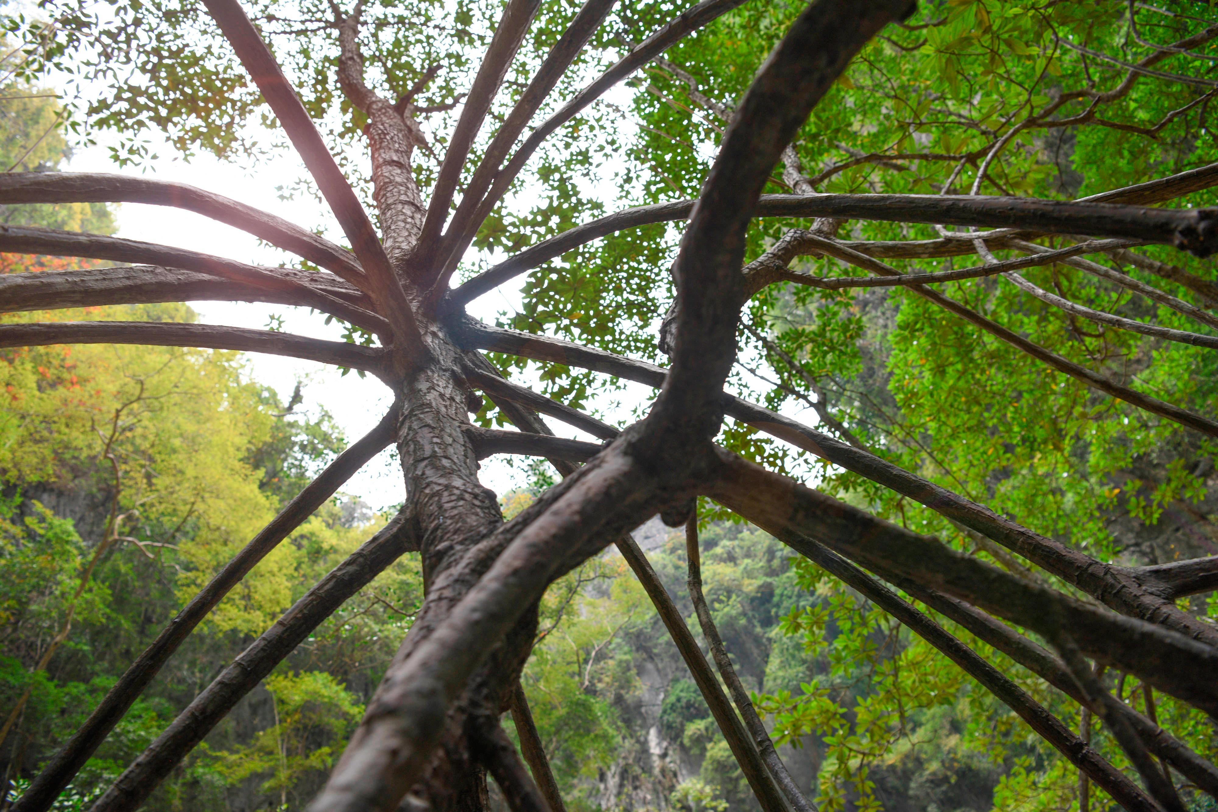 Phang Nga Bay Mangrove
