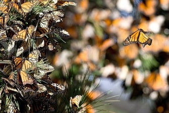 CY San Luis Obispo Monarch Butterflies
