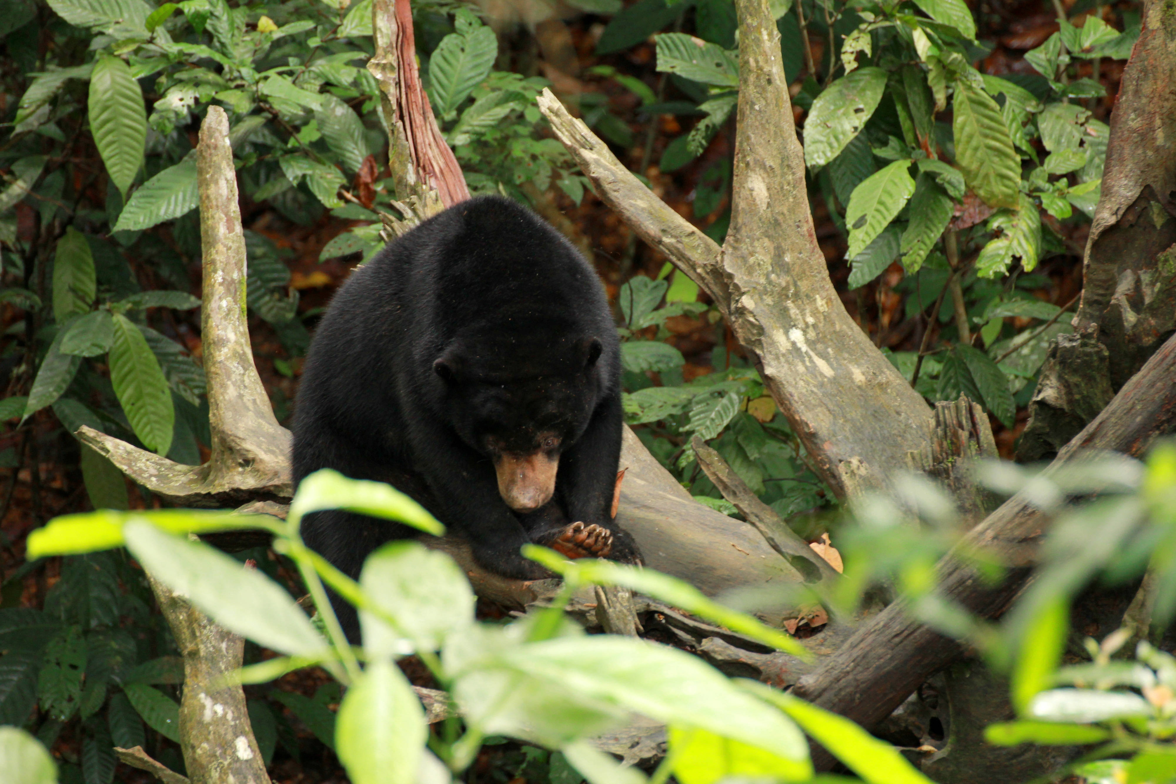 Borneo Sun Bear - Rest
