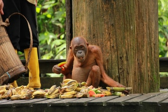 Orang Utan - The Man of Forest