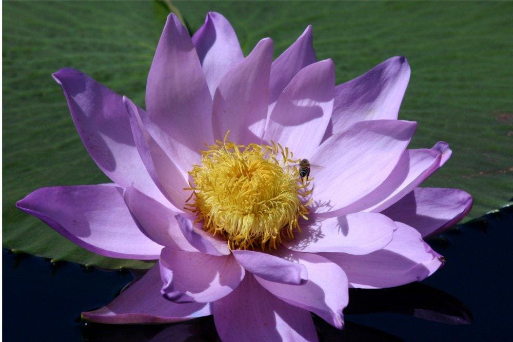 International Waterlily Collection San Angelo