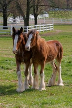 Clydesdale horses at Grant's Farm