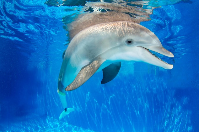 Winter the Dolphin - Clearwater Marine Aquarium