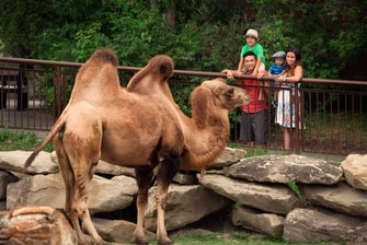 Calgary Zoo Camels