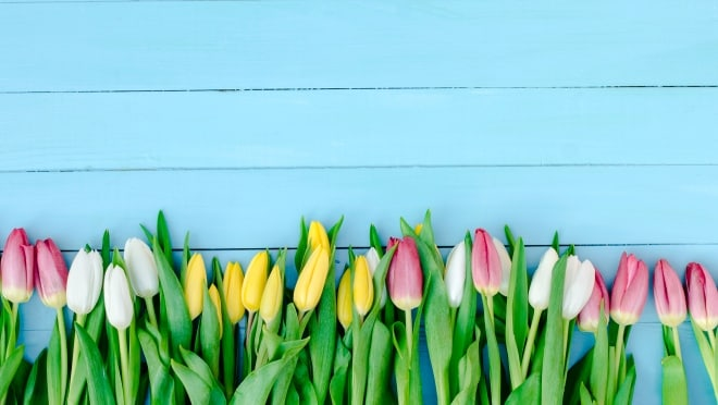 Tulips on the blue wooden wall